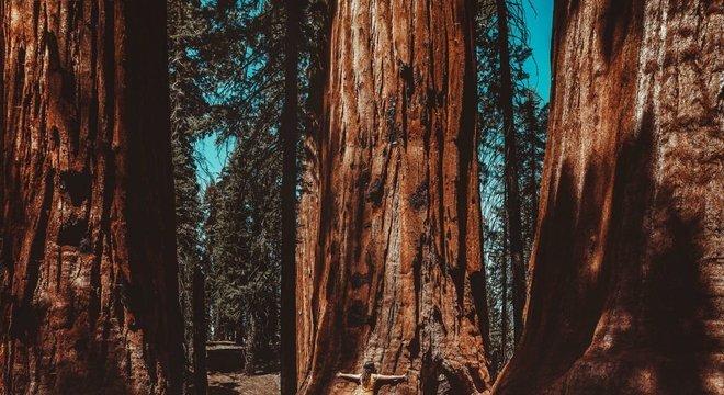Sequoias são árvores monumentais e podem viver milênios