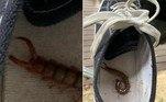 Uma mulher de Adelaide, na Austrália, evitou uma picada de lacraia das mais dolorosas ao checar o tênis antes de calçá-lo