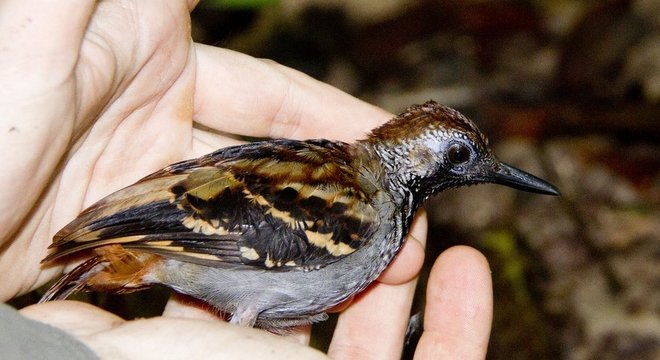 Pesquisadores analisaram impacto climático nos Myrmornis torquata - pinto-do-mato-carijó