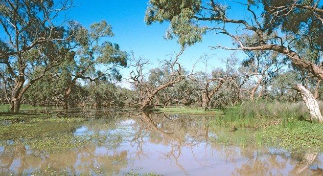 Nardoo é um tipo de samambaia nativa da Austrália