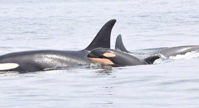 Estima-se que haja apenas 76 baleias da espécie atualmente