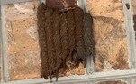 Apesar de serem bem grandes e assustadoras, as vespas da espécie (como praticamente todas as vespas solitárias) são consideradas inofensivas para o homem, por não terem tantos instintos territoriais como suas colegas mais sociáveisNa natureza, as vespas não cansam de assustar. Uma delas foi flagrada atacando um rato pelo menos duas vezes maior que ela. Veja a seguir essa história chocante!