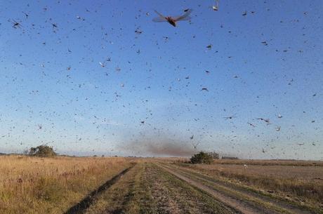 Nuvem de gafanhotos pode chegar ao Brasil