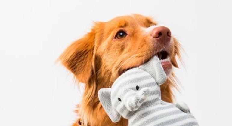 O exercício mental é tão importante quanto o exercício físico e o adestramento. Sessões de habilidade canina vão permitir que o cachorro tenha a mente ativa, além de fortalecer a relação no dia a dia.