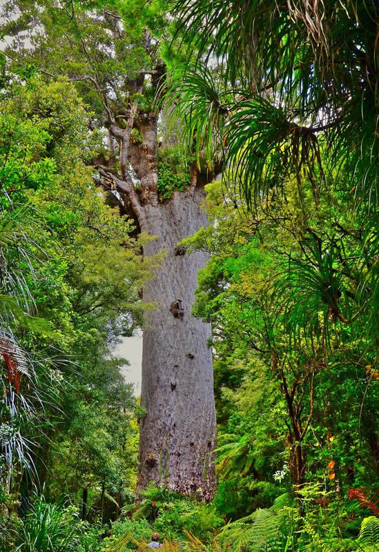 Tane Mahuta, o kauri mais famoso, mede 51,2 metros
