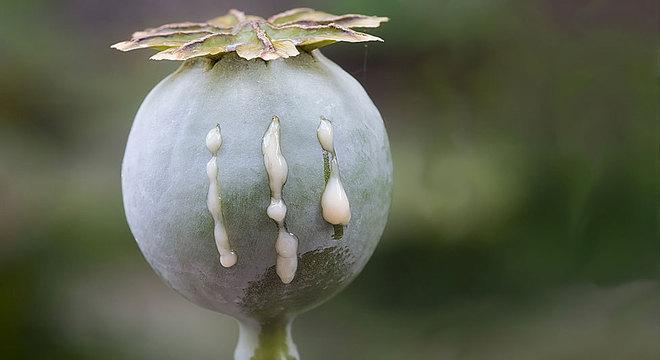 O termo 'ópio' deriva do grego 'oppion', que significa 'suco', uma referência ao látex que sai quando se corta a papoula
