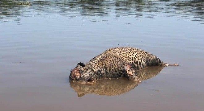 Caso de caça desta espécie não é comum na região