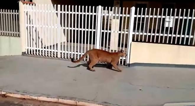 Felino percorreu as ruas do bairro na manhã desta terça-feira (1°)