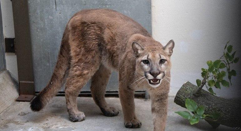 A onça-parda, de 11 meses, foi levada para o zoológico do Bronx e passa bem