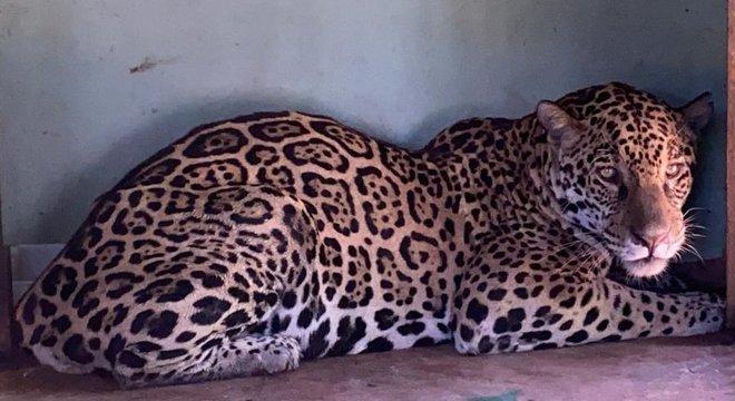 Uma das onças-pintadas resgatada na última terça não resistiu, e a outra está em recuperação em Mato Grosso do Sul