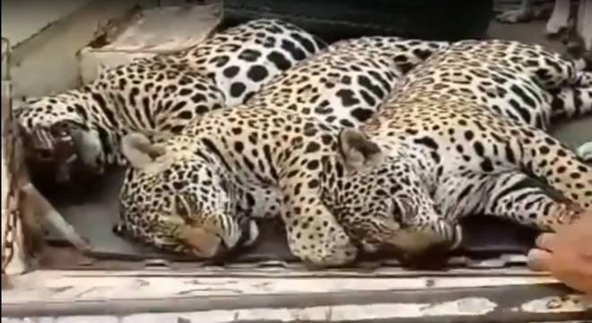 Vídeo que mostra onças mortas é investigado pela Polícia Civil de Mato Grosso