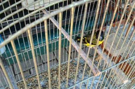 Foram apreendidos 98 pássaros nativos