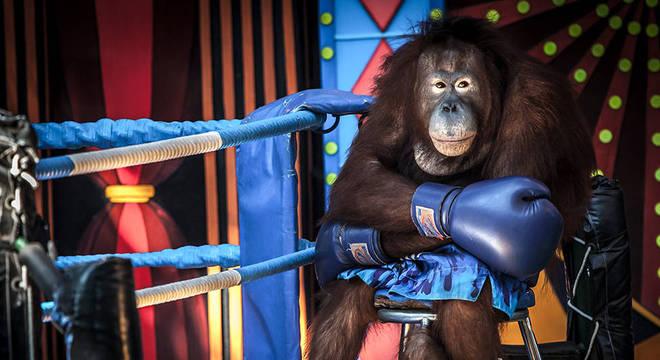 Este orangotango, clicado por Aaron Gekoski, estava sendo explorado para uma performance