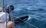 Nos últimos, tripulantes de barcos na Espanha testemunham algo chocante: orcas estão colidindo com embarcações, um fenômeno tão inacreditável que muitos biólogos está completamente cética com os relatos