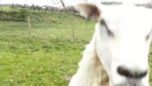 Ovelha esquentadinha destrói drone pastor com cabeçada certeira