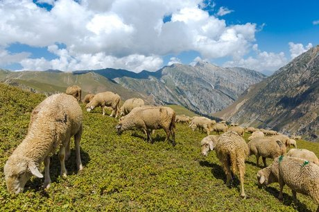 A comunidade gujjar é composta por pastores muçulmanos nômades, que cruzam o Himalaia com ovelhas, cabras e búfalos