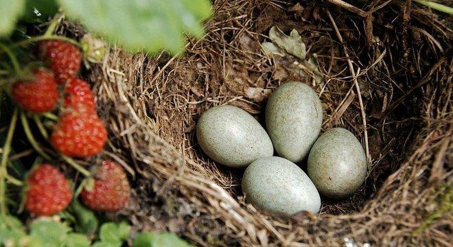 Aves fêmeas realizam uma aritmética mental incrível para descobrir quando colocar os ovos na próxima ave hospedeira