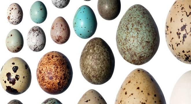 A palavra-chave que explica a paleta variada de cores da casca dos ovos de aves, segundo estudo, seria 'termorregulação'
