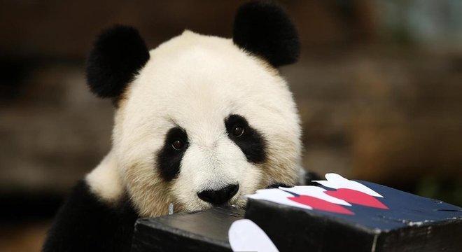 Embora não estejam mais 'ameaçados', restam apenas entre 500 e 1 mil pandas adultos na natureza, em seis cadeias de montanhas isoladas na China