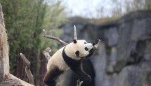 Panda-gigante deixa tratador gravemente ferido após ataque