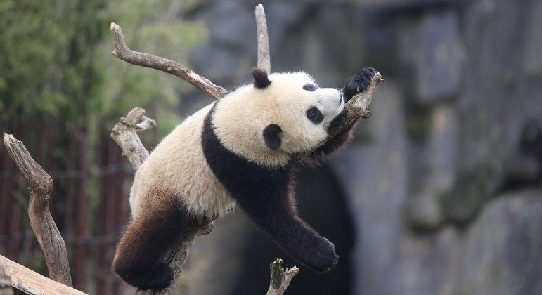 Panda-gigante atacou tratador de animais no zoológico Pairi Daiza, em Brugelette, na Bélgica