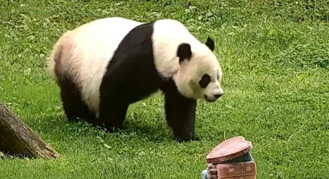 Mei Xiang é uma panda gigante de 22 anos que teve filhote