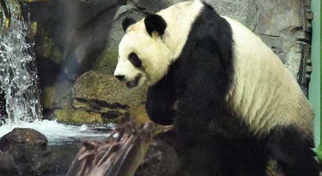 Voos que traziam bambu fresco para os pandas foram cancelados