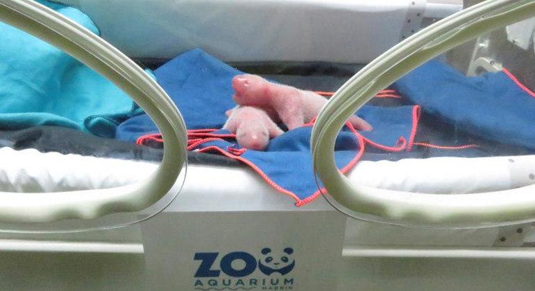 A dupla rosada e pequenina nasceu no zoológico de Madri, na Espanha