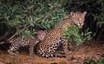 Atônitos com a destruição, os animais buscaram refúgio na própria vegetação local. A formação do Pantanal possui três características distintas. Uma delas são os locais que não sofrem enchentes. Eles funcionam como abrigos para animais. Há as áreas que permanecem alagadas quase o ano todo e outras que enchem apenas em alguns períodos