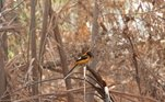 As vegetações queimadas acabaram prejudicando a qualidade de vida dos pássaros, mas, aos poucos, eles rastreiam locais que vão voltando a ser preenchidos por uma sinfonia de cantos