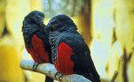 Ele também é conhecido comoPapagaio de pesquet e habita as florestas tropicais da Nova GuinéVEJA ISSO:Medonho! Morador descobre 'quarto secreto' na casa onde vive há 5 anos