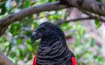 Esse é o Papagaio Drácula (Psittrichas fulgidus), um animal com nome assustador e aparência única. Ao invés das penas verdes, ele está todo coberto de preto e vermelho