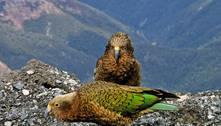 Papagaios raros podem ter fugido para os Alpes para evitar humanos