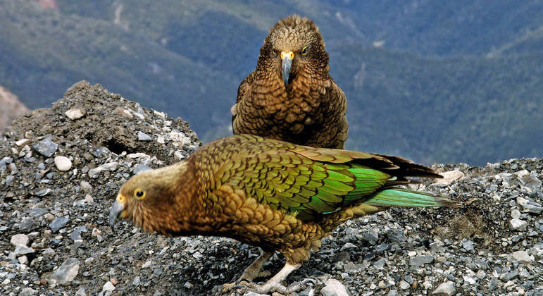 Espécie é a única de papagaios alpinos do mundo