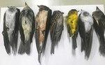 Centenas de milhares de pássaros estão caindo mortos dos céus do Novo México, EUA, e ninguém sabe o motivo exato. Um biólogo afirmou que a possível causa pode ser os incêndios florestais na Califórnia, mas autoridades ainda investigam