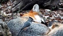 Estudo identifica aves descaradas que roubam pelos de mamíferos