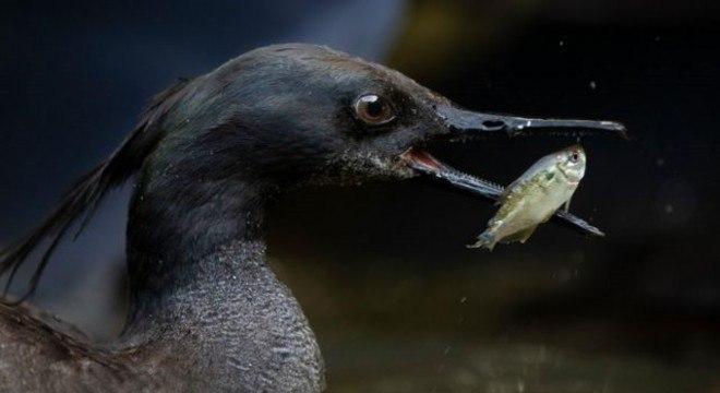 O pato-mergulhão se alimenta com pequenos peixes de águas limpas