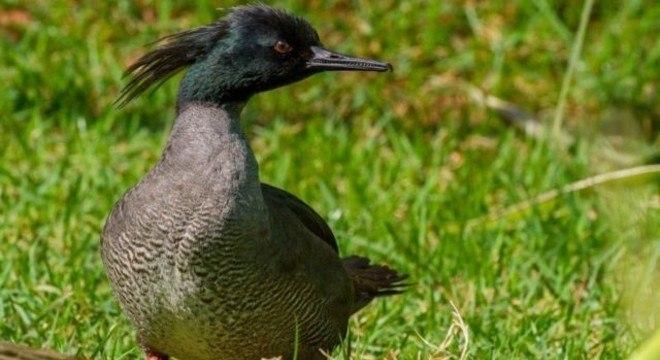O pato-mergulhão só se reproduz em ambientes equilibrados e sem poluição