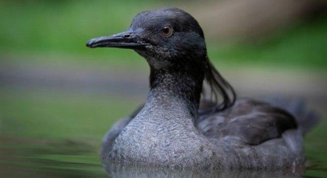 Estima-se que existam apenas 250 patos-mergulhões na natureza