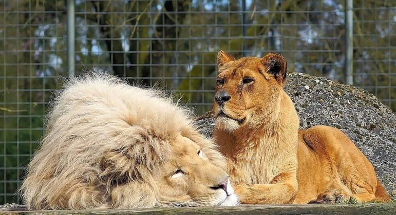 De pouco serve a força do leão quando ele está preso dentro da jaula