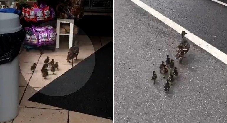 Família de patos recebeu ajuda de pedestres para chega à loja de NY e garantir uma boquinha