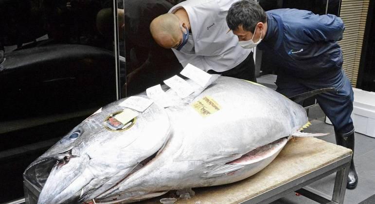 Animal gigante e raro é muito apreciado pela culinária japonesa