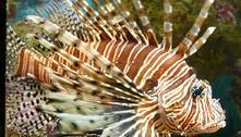 Conheça o peixe-leão, o predador que ameaça invadir o mar do Brasil