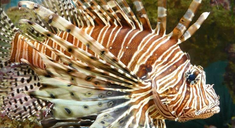As presas demoram em reconhecer o peixe-leão como predador, facilitando seu trabalho