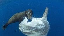 Em análise raivosa, mergulhador define peixe-lua: 'Uma piada inútil'