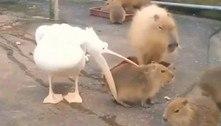 Pelicano tem uma crise existencial após não conseguir comer capivara