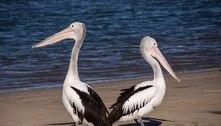 Pelicano foge de parque, voa 160 km, encontra o irmão e retorna