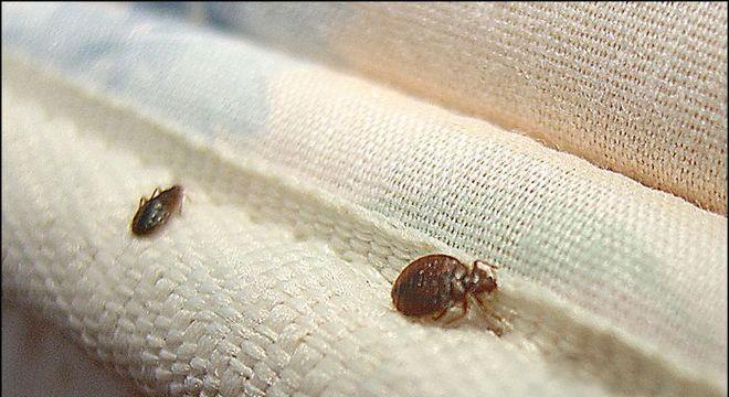 Percevejo de cama - principais características e como evitar infestações