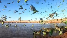 Vídeo mostra a maior reunião de periquitos em 10 anos na Austrália