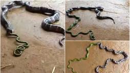 Pesadelo! Cobra vomita outra cobra em cena aterrorizante ()
